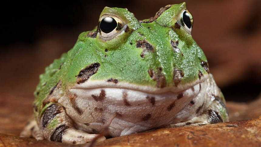 Pacman Frogs – How to Take Care of Your Amphibian Pet