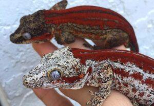 Ambience Setup for Gargoyle Geckos