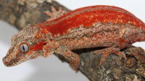 Facts on Gargoyle Geckos