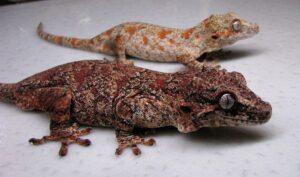 Features of Gargoyle Geckos
