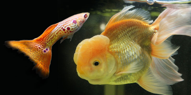 Fish Are Compatible With Goldfish