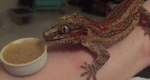 Foods for the Gargoyle Geckos