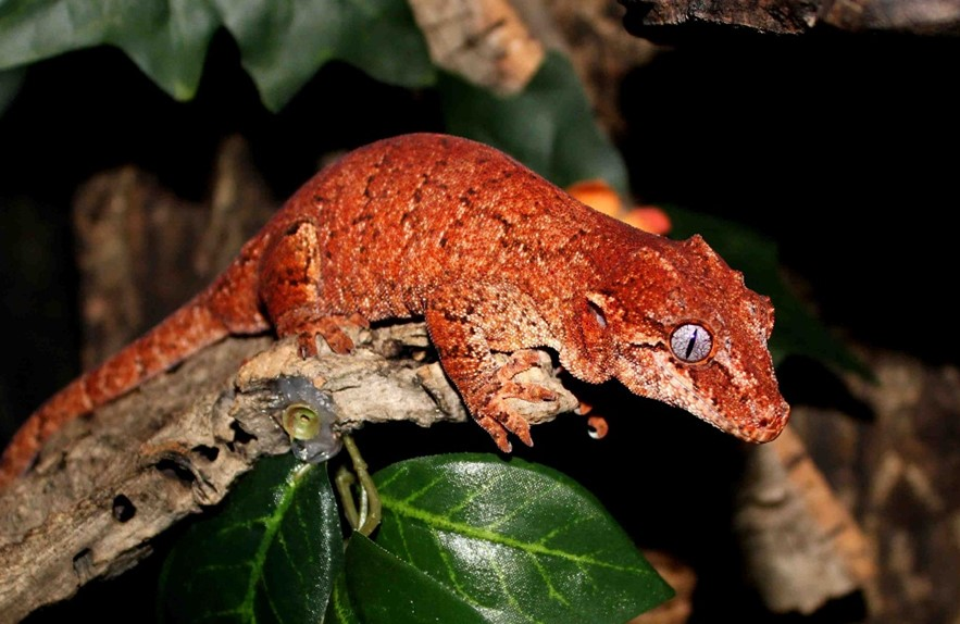 Crucial Tips for Taking Care of the Gargoyle Geckos