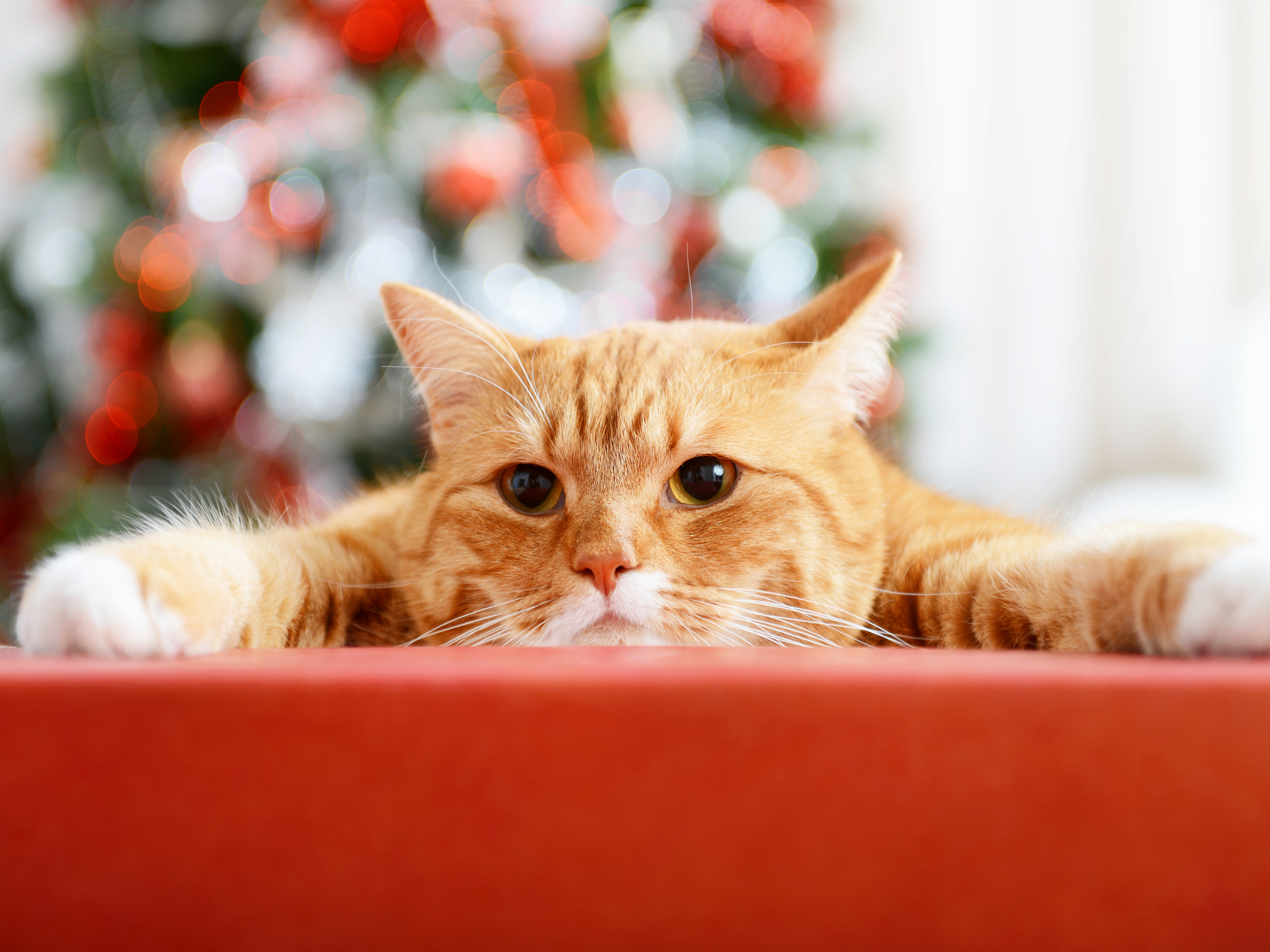 Holiday Season With Your Cat
