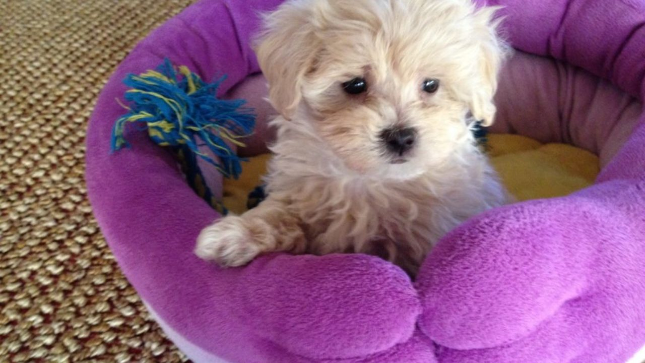 What You Need to Know When Looking at Maltipoo Puppies for Sale?