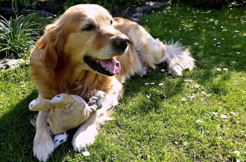 health problems in golden retrievers