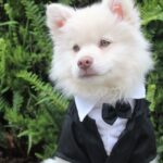 How to Choose a Best Wedding Outfits for your Dog?